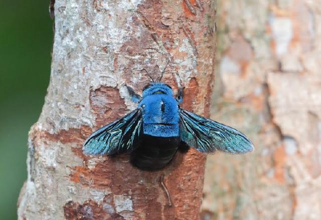 abeja carpintera azul hace nido en un árbol