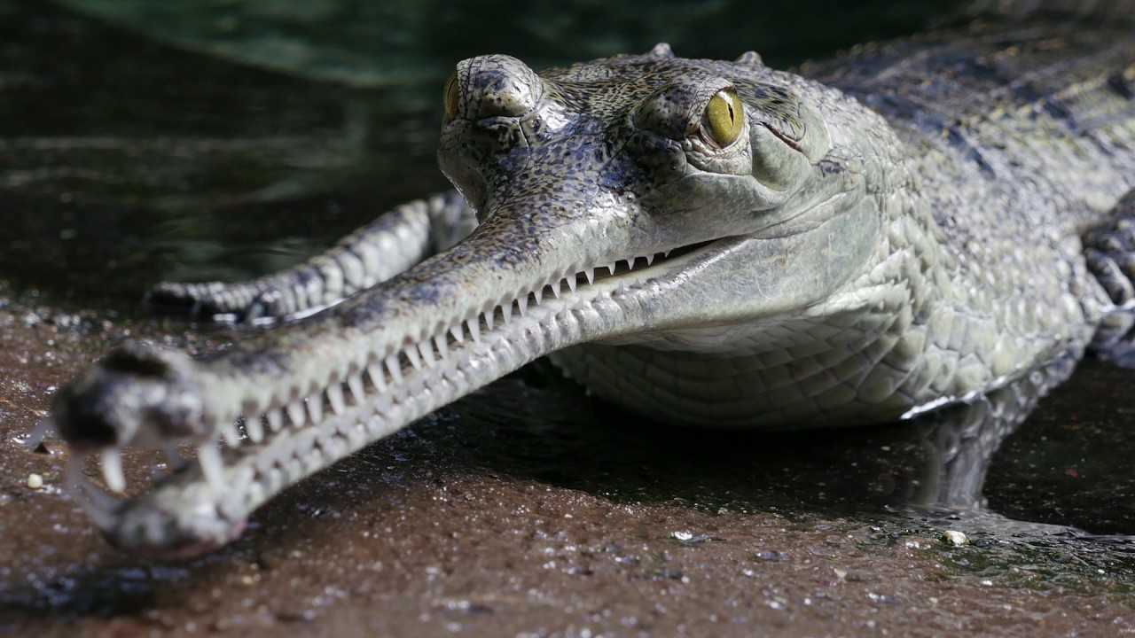Gharial, Daily Current Affairs: 18th September 2019