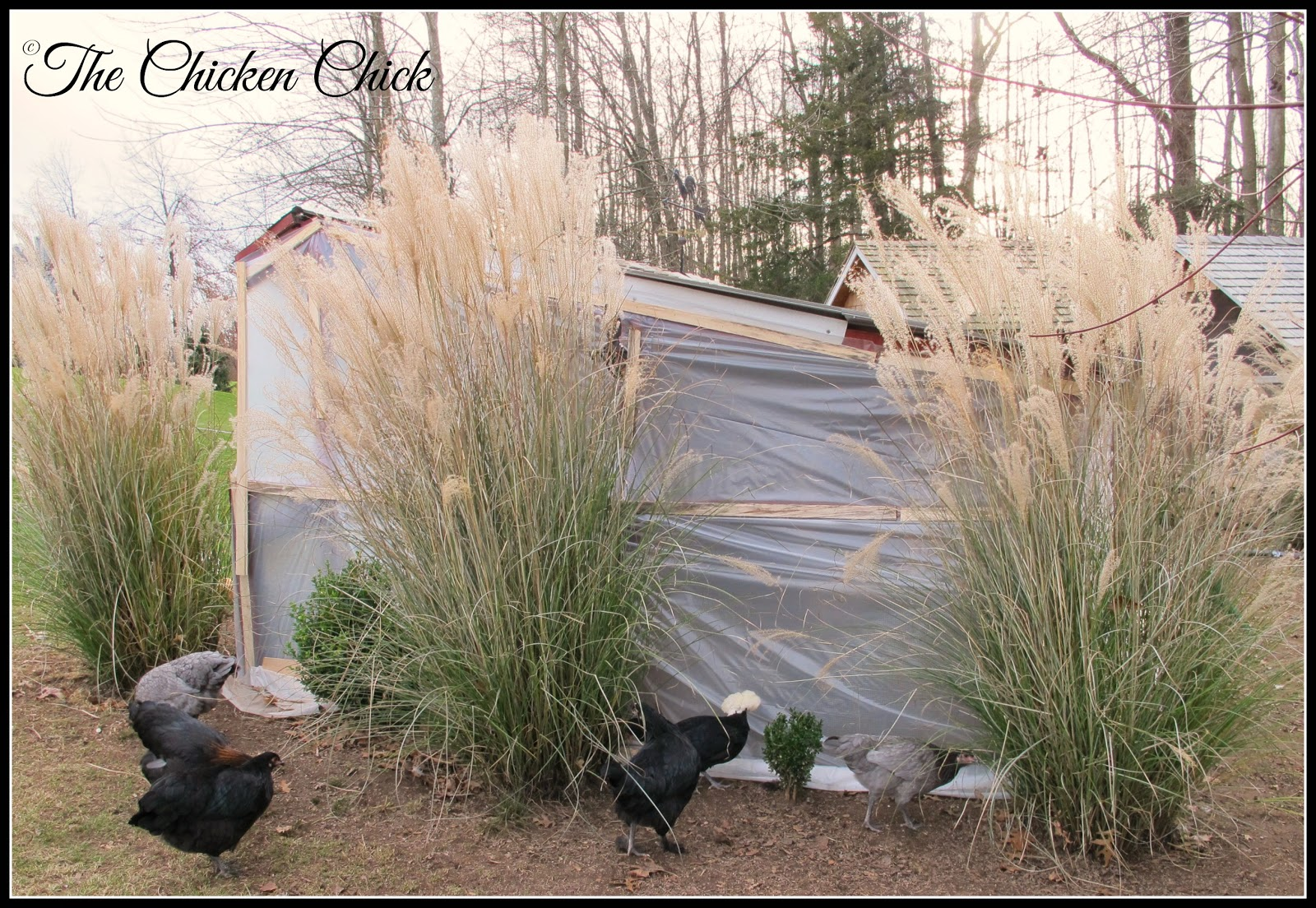 Ornamental grasses lend beautiful texture, color and movement to the backyard in the dead of winter.