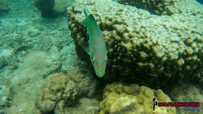 Ikan Blur