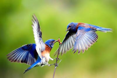 2 burung biru