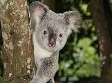 Koala Yang Tidak Punya Air Dan Tukang Tidur