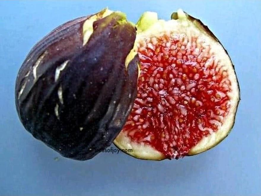 bibit buah tin Black Betlehem Sawahlunto
