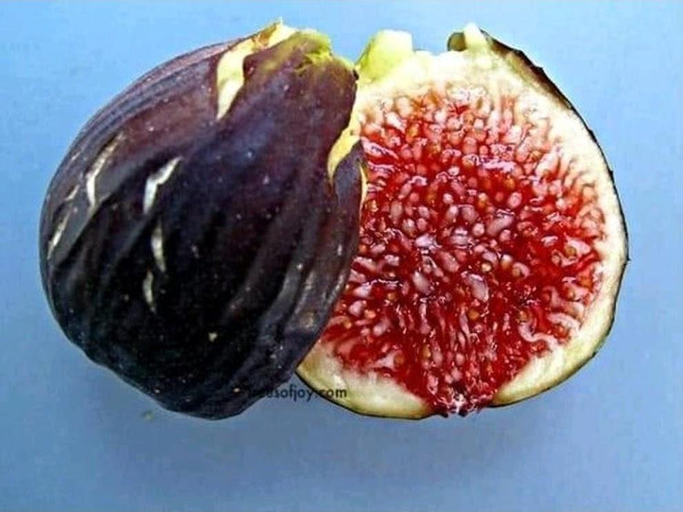 bibit buah tin Black Betlehem Mojokerto