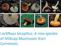https://sciencythoughts.blogspot.com/2019/02/lactifluus-bicapillus-new-species-of.html