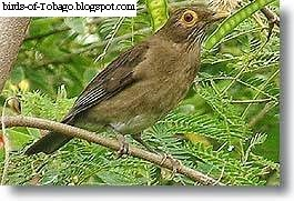 Bare-eyed Thrush (Turdus nudigenis) Passerine or perching bird