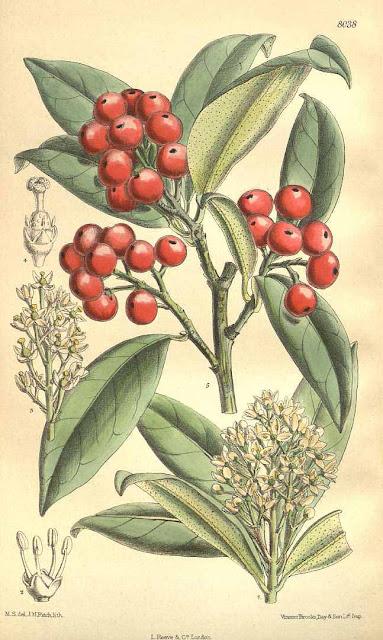 botanical image of Skimmia japonica