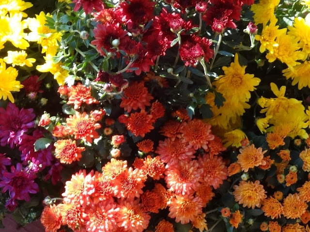 An array of Mums fall flowers