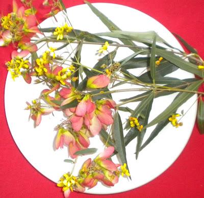 Mariposa Heteropterys glabra
