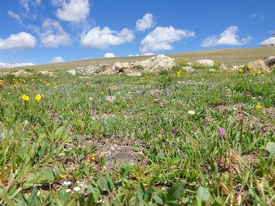alpine tundra in July