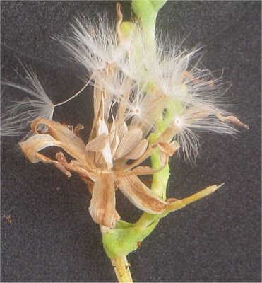 Close up photograph of lettuce seed emerging from their pods