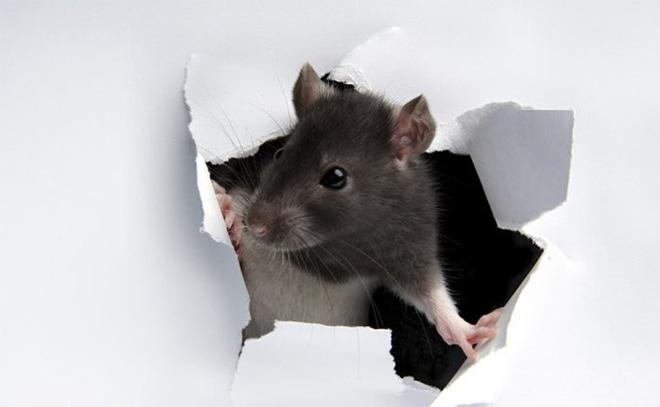 Cara Ampuh Mengusir Tikus dari Plafon Rumah