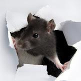 Cara Ampuh Mengusir dan Membasmi Tikus dari Plafon Rumah