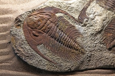 Trilobite fossils are found in many sizes and have several classifications. They were also rather complex, with no sign of evolutionary ancestors. That is bad enough for evolutionists, but their fossils strongly indicate rapid burial through a catastrophic Flood.