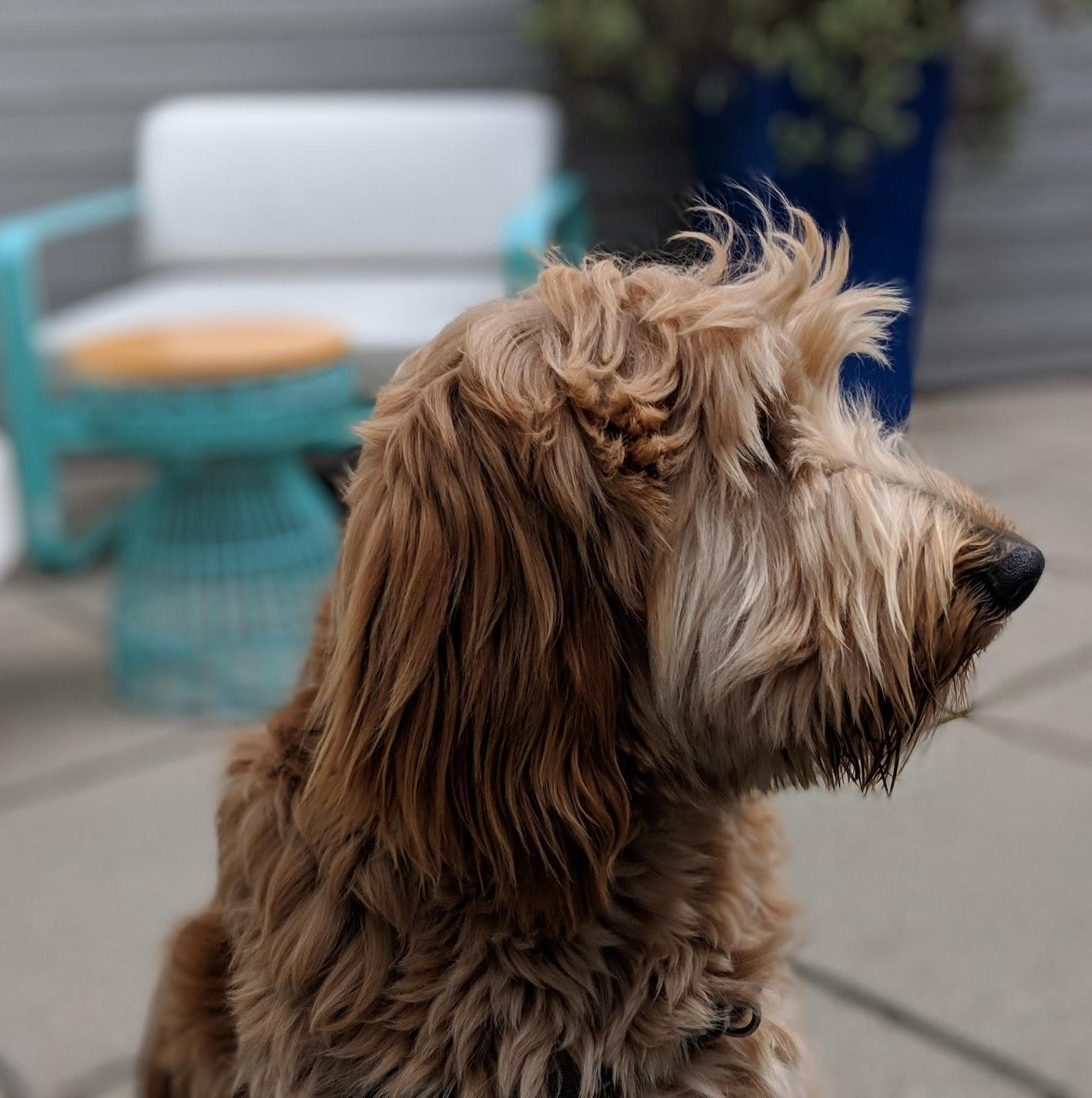 image of a shaggy dog's profile with patio furniture blurred out in the background.