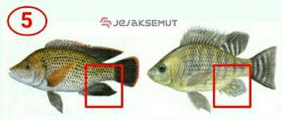 perbedaan ikan nila dan ikan mujair