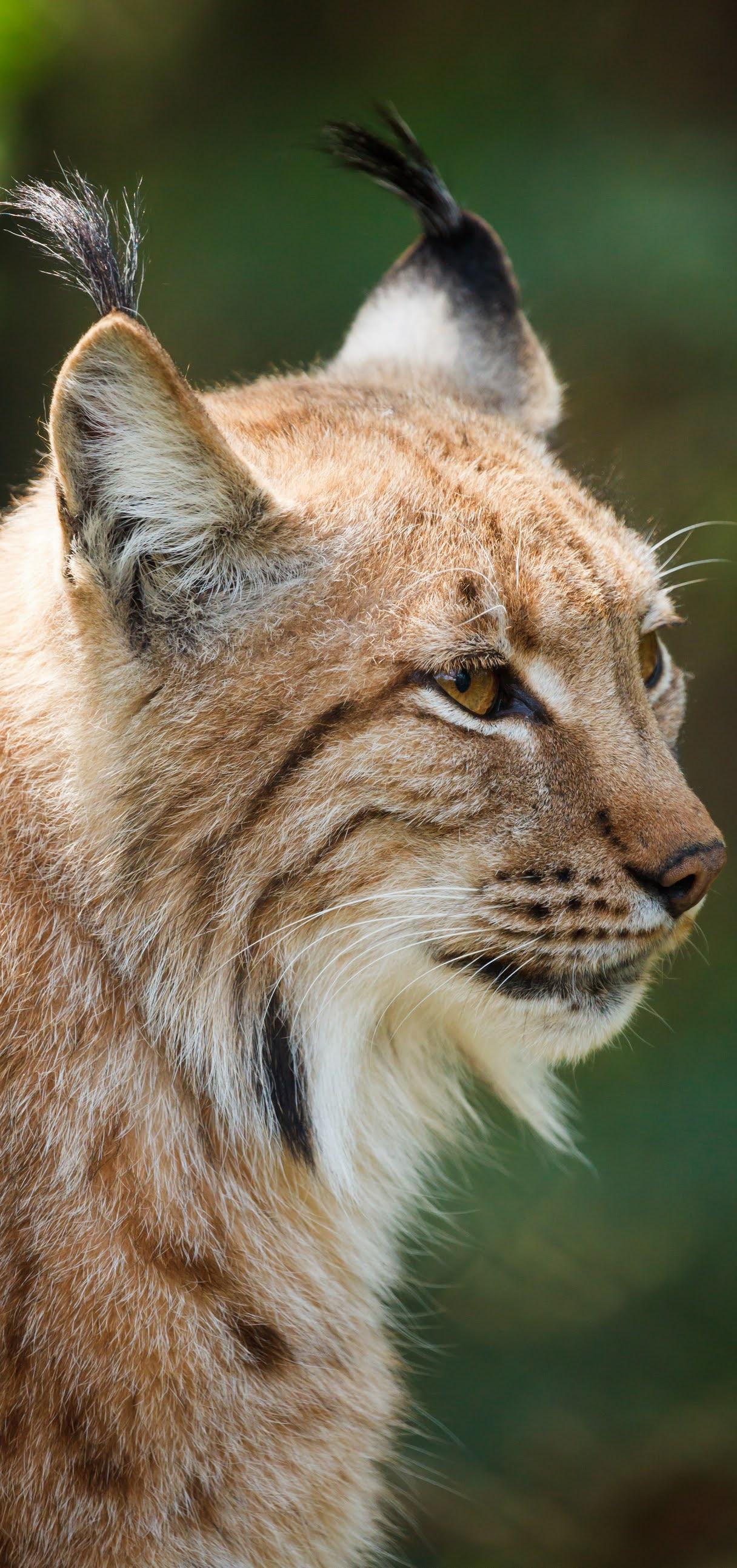 Lynx face portrait.