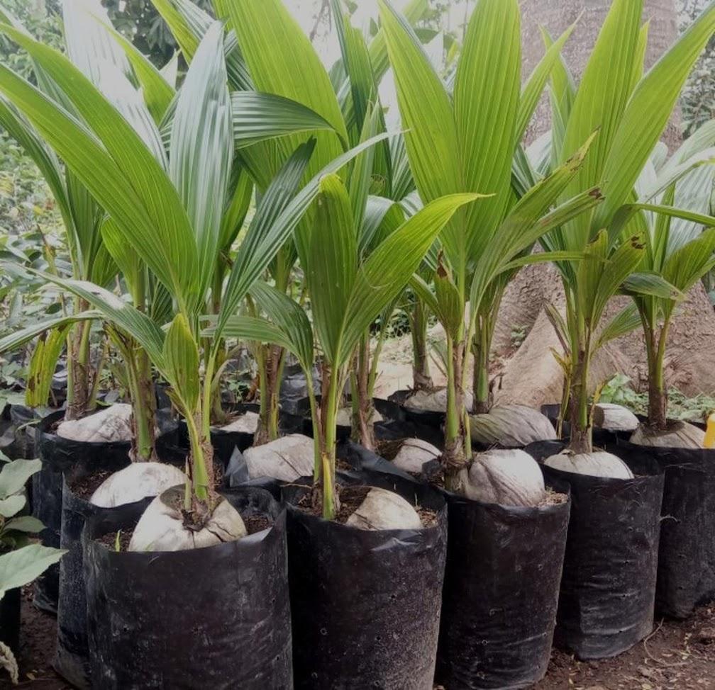 Bibit kelapa pandan wangi thailand asli import 100 Subulussalam