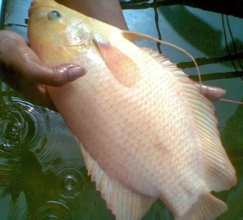 Ini Jenis Ikan Gurame Yang Paling Laris Dan Diminati Pasar Alam Ikan