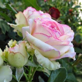 розы, как вырастить красивую розу,болезни розы,характеристика роз, уход за розами,roses, how to grow a beautiful rose diseases roses,feature roses, care for roses,