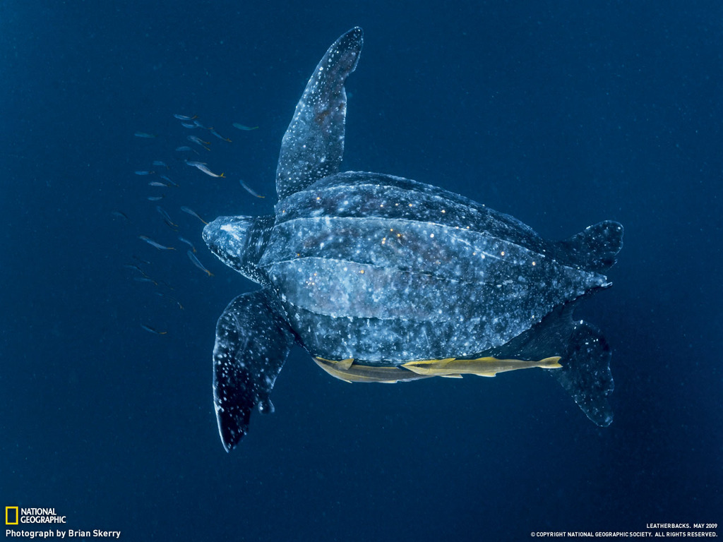... , and has rubbery skin? Why, the leatherback sea turtle, of course