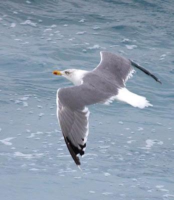 Gaviota patiamarilla en vuelo
