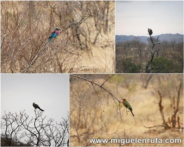 Aves-Berg-En-Dal-Parque-Kruger