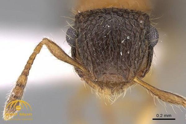 النملة مو صلاح نمل ميرانوبولوس