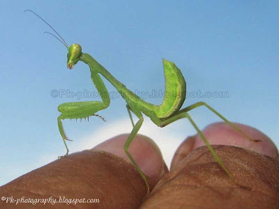 Baby Praying Mantis Picture