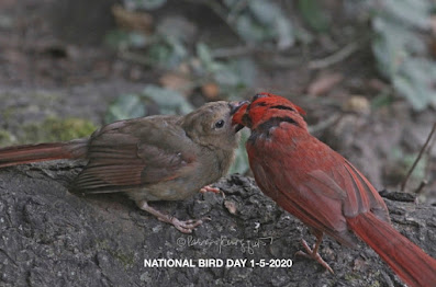 This photograph features a male cardinal (bird) feeding his young one.