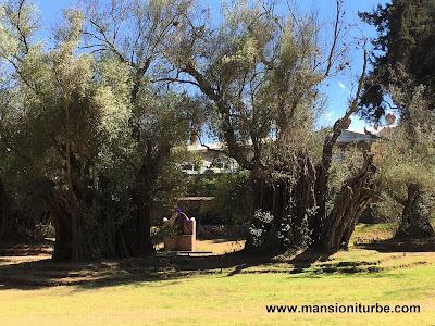 Olivos centenarios el el Atrio de los Olivos de Tzintzunzan