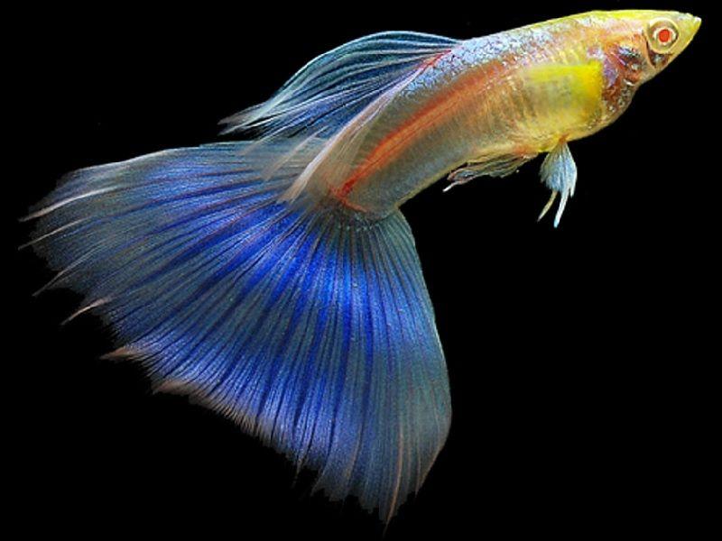 Gambar Ikan Guppy Fantail-Albino Fantail Guppy