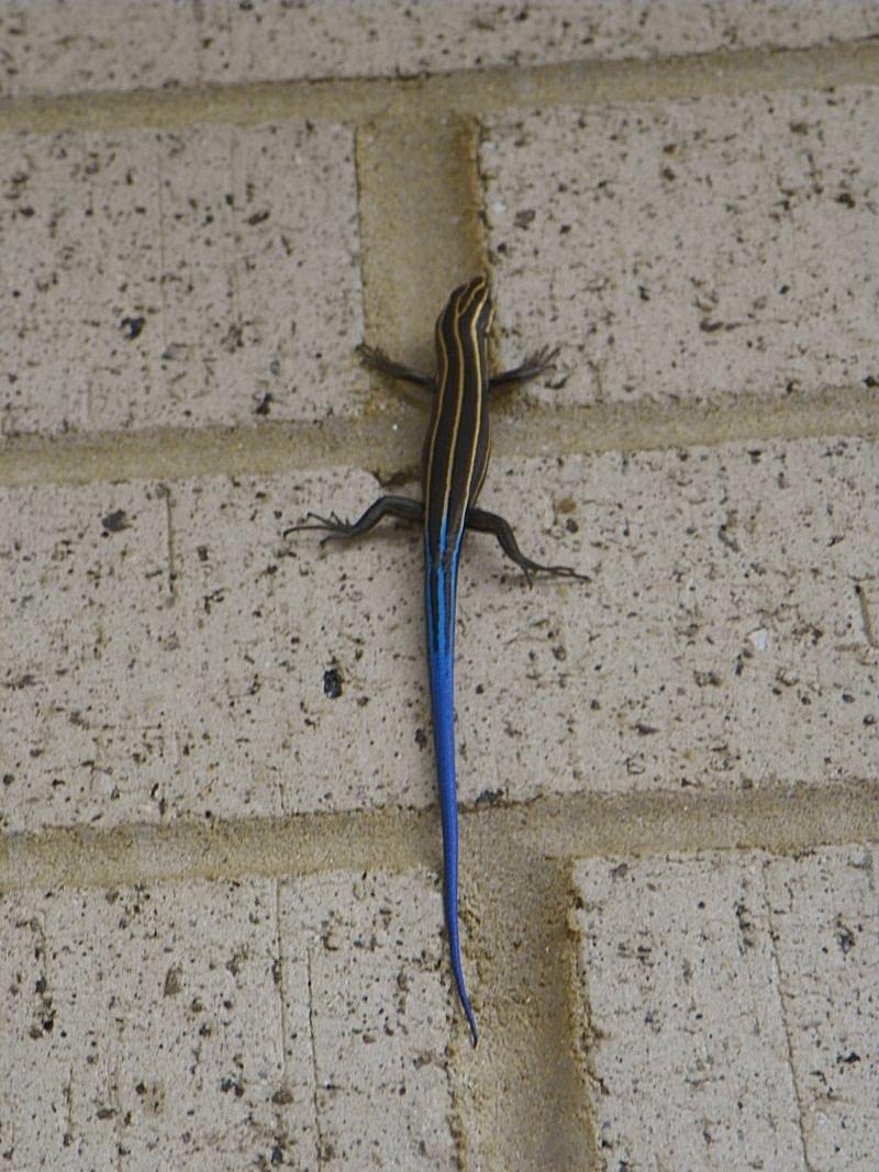 Skinks in California - Plestiodon (=Eumeces)  |Blue Tail Lizard