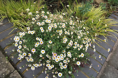 Erigeron (aka Fleabane) flowering between two clumps of Carex grass