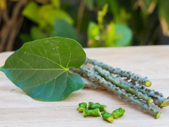 Tinospora Cordifolia GILOY HOGUNI LOTA অমৰ লতা  শগুণী লতা বা অমৃতা