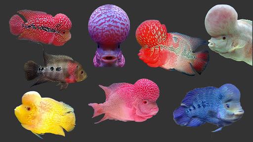 Harga Ikan Louhan Berbagai Jenis Terbaru