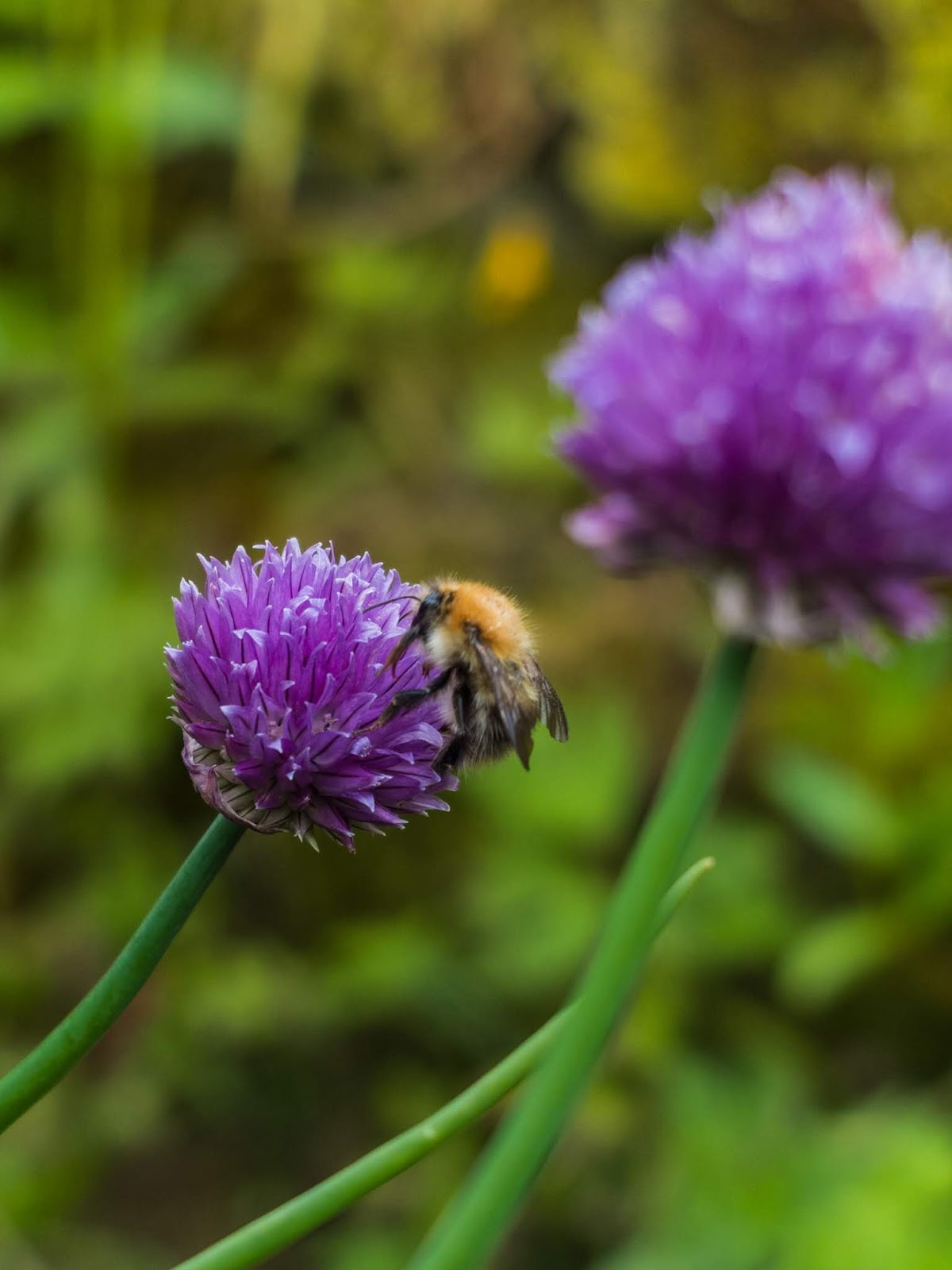 A bumble bee sitting on a small, purple chive flower.