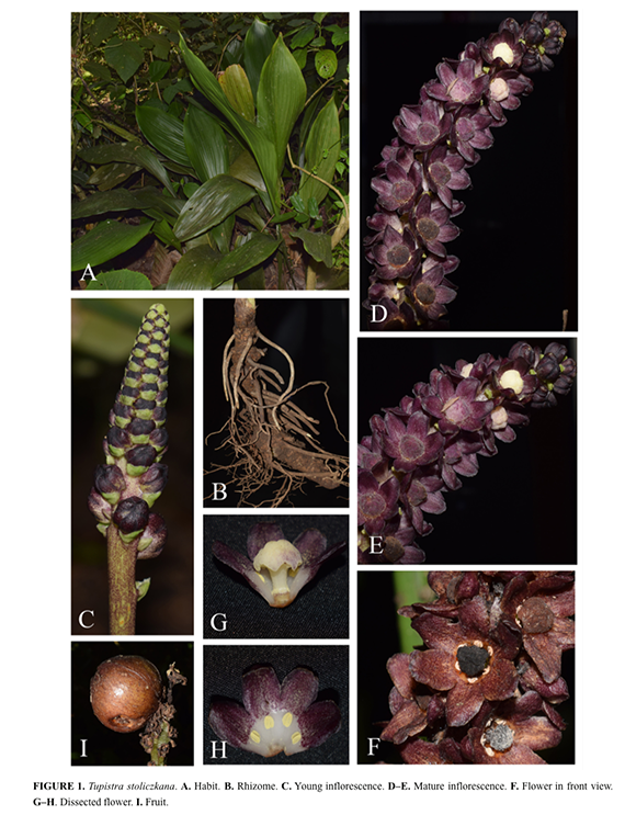 Tupistra stoliczkana. A. Habit. B. Rhizome. C. Young inflorescence. D–E. Mature inflorescence. F. Flower in front view. G–H. Dissected flower. I. Fruit.