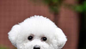 20 Adorable Hypoallergenic Dogs That Don't Shed