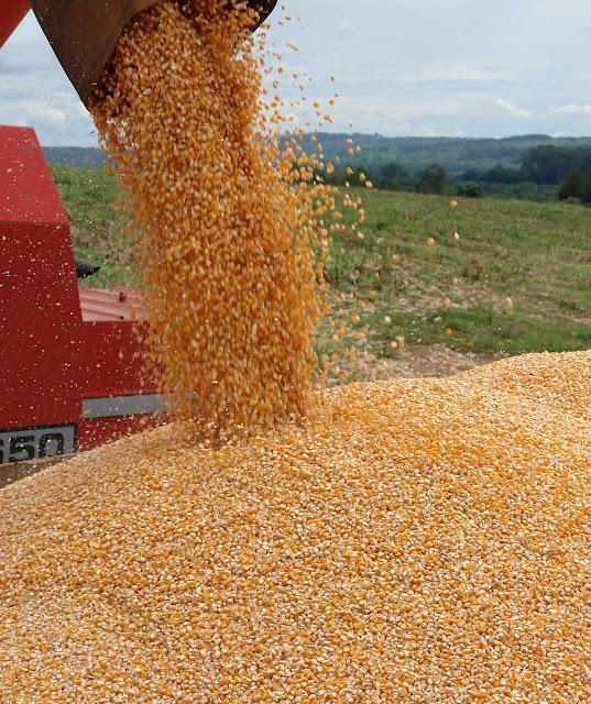 Produção de milho no Brasil aumenta com OGM sem danos para a saúde e com melhora para a população.