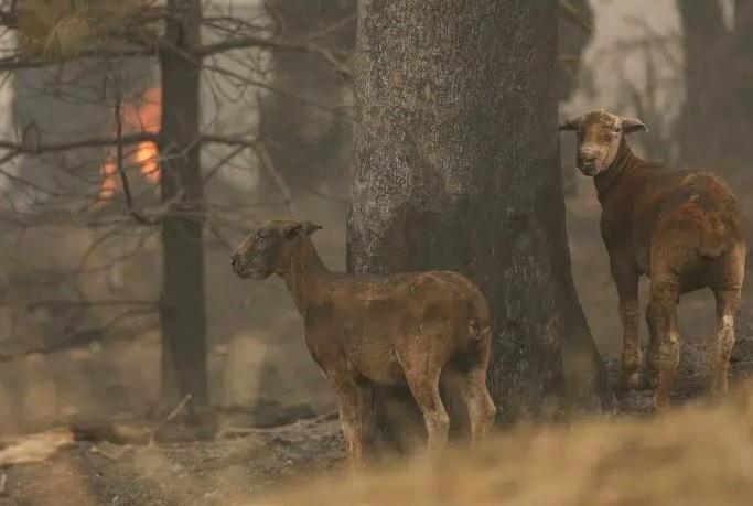 Διανομή ζωοτροφών σε κτηνοτρόφους πυρόπληκτων περιοχών της Περιφέρειας Πελοποννήσου