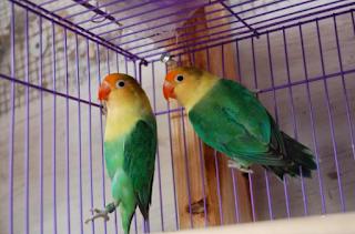 Harga Burung Lovebird Parblue
