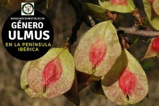 El Género Ulmus: Los Olmos, arboles caducifolios de porte elevado y robustos