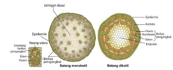 Gambar 11. Struktur anatomi batang monokotil dan dikotil www.edubio.info
