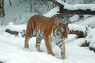 Mengenal Harimau Siberia, Kucing Terbesar di Dunia
