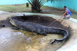 Lolong, el cocodrilo más grande capturado vivo