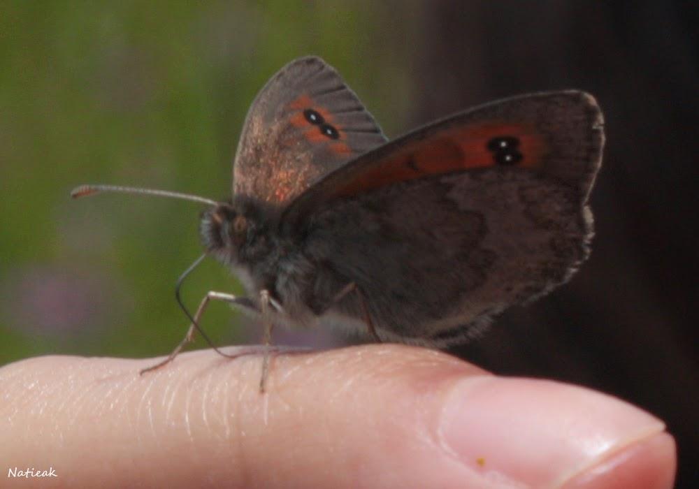 papillon  Aussois  refuge de la Fournache