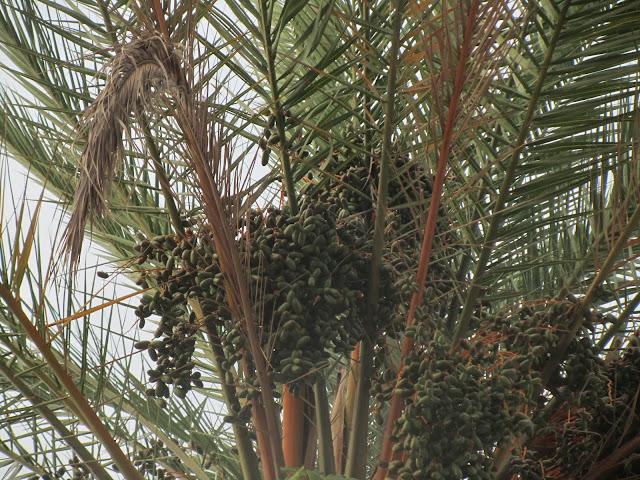 Datteri Immaturi Phoenix dactylifera