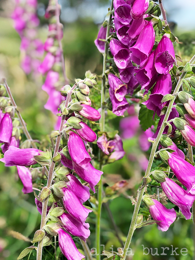 beautiful foxgloves