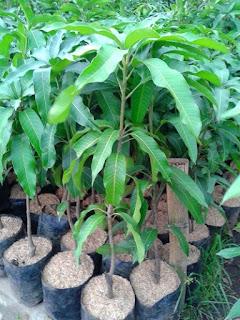 jual-tanaman-mangga-irwin.jpg
